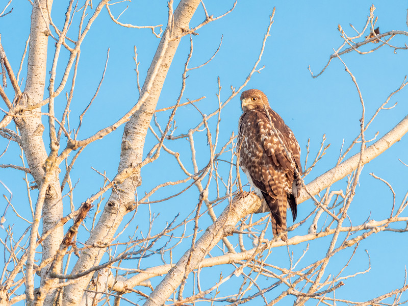 Hawk in Winter Tree