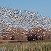Gaggle of White Geese in Flight