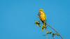 Monks Parakeet