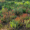Patch of Indian Paintbrush Flowers