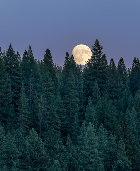 Full Moon Rising over Conifer Forest