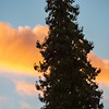 Sunset Colored Cloud Behind Pine Tree