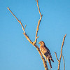 Juvenile Hawk on Bare Branch