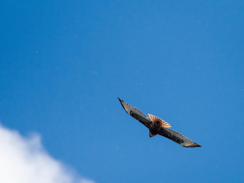 Hawk in Fligh and Cloud