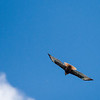 Hawk in Fligh and Cloud