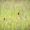 White-Faced Ibises Hiding in Plain Sight