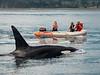 Killer Whale (Orca) in the neighborhood