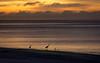 Shorebirds in Silhouette at Dawn