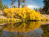 Golden Willows and Reflection