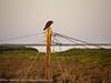 Hunting Osprey on Telephone Pole