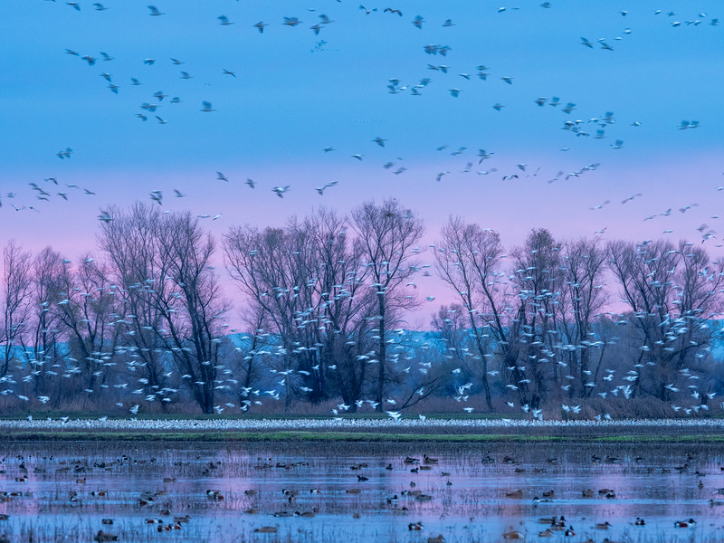 Geese in Various States of Activity at Dawn