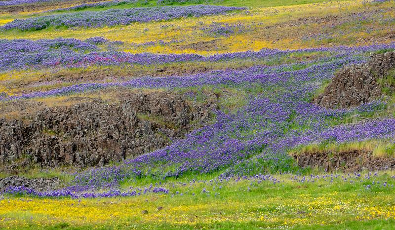 Sweeping Waves of Wildflowers Among Volcanic Rock