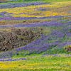 Sweeping Waves of Wildflowers Among Volcanic Rock