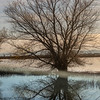 Bare Winter Cottonwood Reflecting in Water