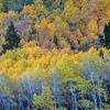 Aspen at Various Stages of Fall Colors