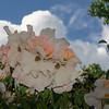 Flowering Clematis Framed by Big Cloud