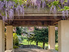 Wisteria and a Variety of Blossoming Trees