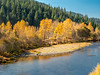 Autumn Cottonwoods Backed by Pine Forest