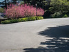 Shadows , Pink Blossoms, and Street Lamp