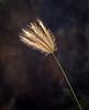 Backlit Wild Grass Against Dark Lava Rock