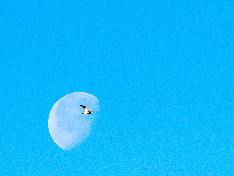 "Goose Flying ""through"" the Moon"