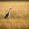 Sandhill Crane in Wetlands Grasses