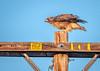 High Hawk