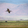 White-Faced Ibis  in Flight over Sierra Valley