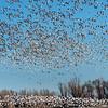 Sky Full of White Geese
