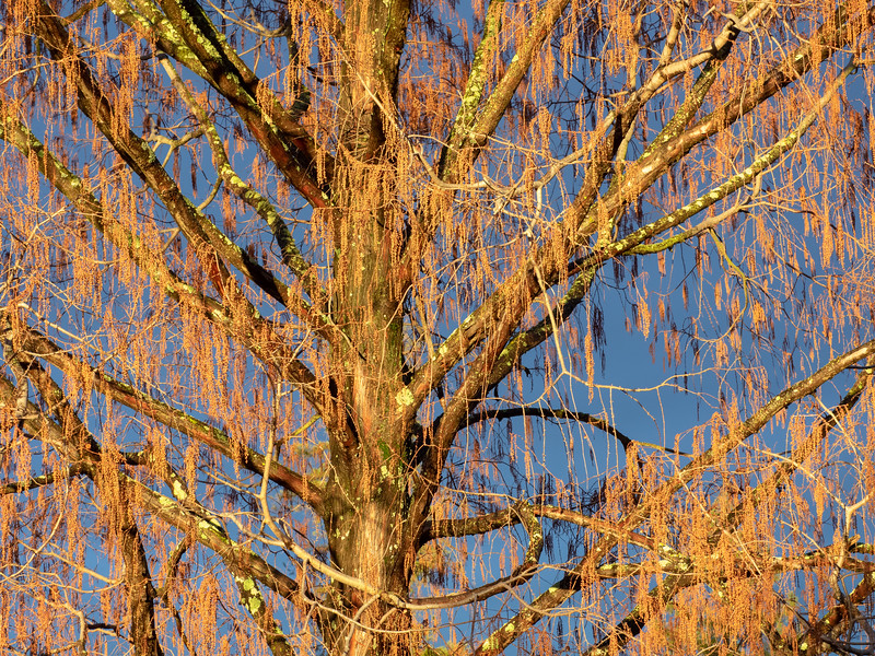 Dawn Redwood in Winter