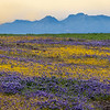 Mixed Wildflowers with Sierra Buttes in the Background