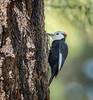 Flicker on Tree