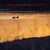 Two Ducks Basking in Sunset Light