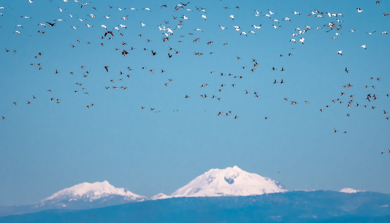 Geese in Flight with Mt Shasta in Background