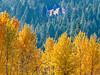 Backlit Autumn Cottonwoods