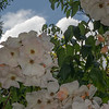 Clematis Flowers and Cloud