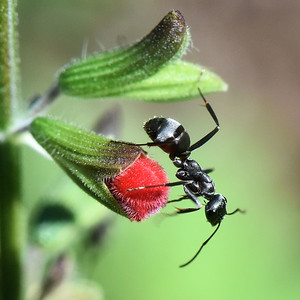 #1533  Ant on Scarlet Sage (This plant is grown as an annual in Massachusetts.)