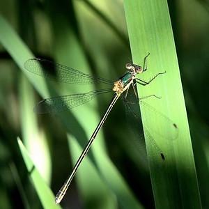 #1616   Emerald Spreadwing damselfly, female.
