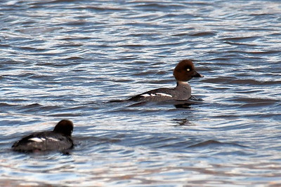 #1647  Common Goldeneye duck females  at Newburyport, MA  in January 2020