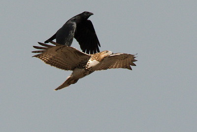 #1708  American Crow attacks a Red Tailed Hawk