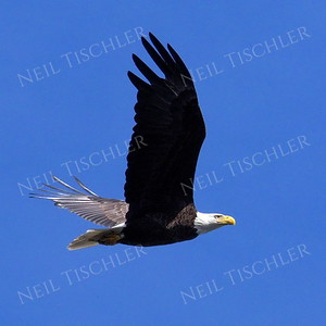 #1702  Bald Eagle, adult, in flight  Picture taken from a kayak on Nashua River, near Groton, MA on 4/29/20.  Eagle was close to its nest in the top of a pine tree.