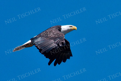 #1698  Bald Eagle, adult, in flight  Picture taken from a kayak on Nashua River, near Groton, MA on 4/29/20.  Eagle was close to its nest in the top of a pine tree.