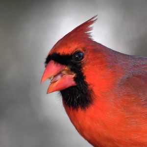 #1679  Northern Cardinal portrait, male