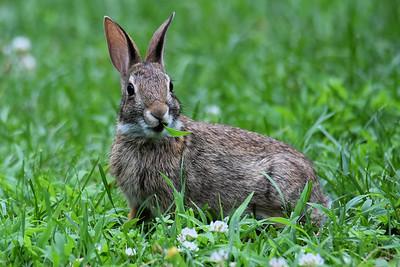 #1613  rabbit munching