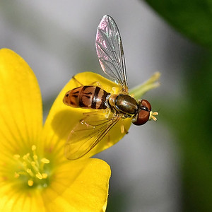 #1555  Hover Fly
