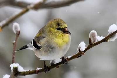 #1520   Goldfinch, male  mid March