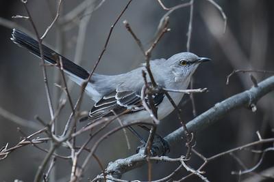 #1630  Mockingbird in thicket