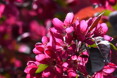 #1535  Crab apple blossoms  May 9, 2019
