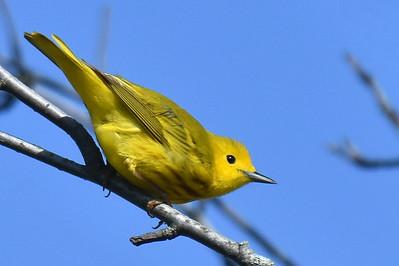 #1659  Yellow Warbler