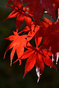 #1610   Japanese red maple